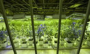 Vantaggi e svantaggi delle coltivazioni indoor