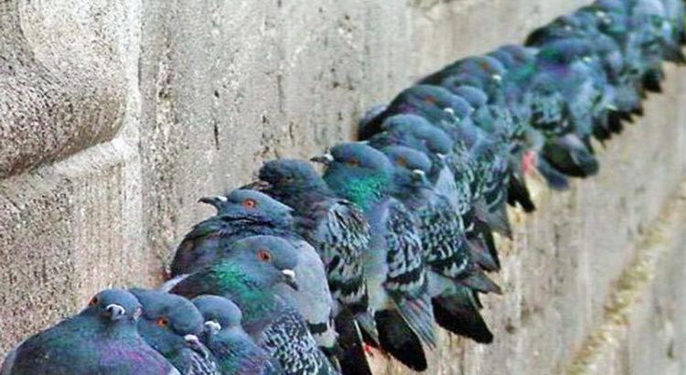 Allontanare piccioni e tutti i tipi di uccelli